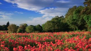 Bright red poppy field in the foreground with tall green trees surrounding the field. Blue sky above with a few grey clouds scattered to the right hand side.