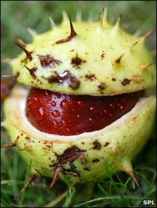 Horse chestnut seed (Image: SPL)