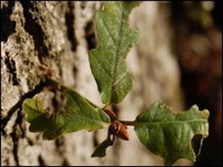 Oak leaves (Image: BBC)
