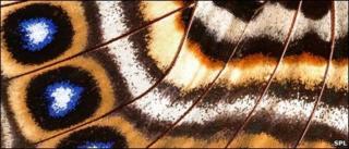 Butterfly wing, SPL
