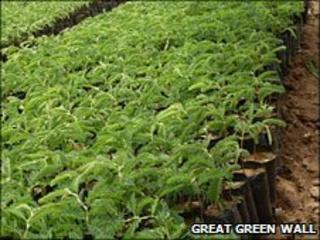 Tree saplings from the website Great Green Wall website