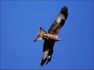 Red kite. Pic by Andy Hay (rspb-images.com)
