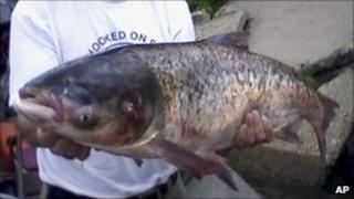 An Asian carp