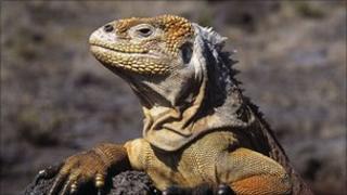 Land iguana in the Galapagos Islands