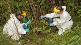 Fishery board officials clearing an area of Japanese hogweed