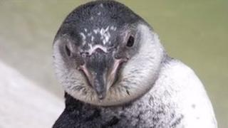 The Humboldt penguin