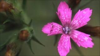 Deptford Pink (Photo: Bob Gibbons-Plantlife)