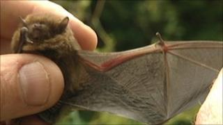 One of the bats examined in the survey