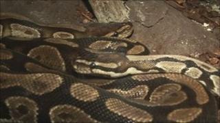 Sid the royal python