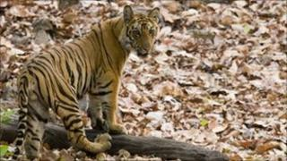 A tiger in the wild in India