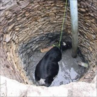 Cow in well