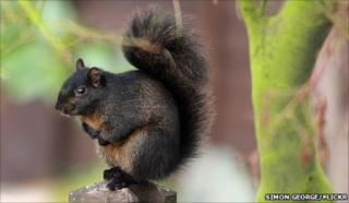 Black squirrel in garden in Bedfordshire