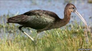 Glossy Ibis. Pic by RSPB