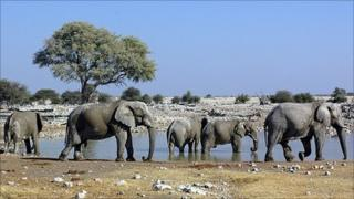 Elephants at a watering hole (Image: BBC)