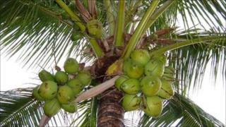 Coconut tree in India