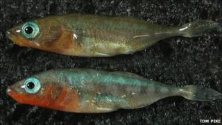 Male sticklebacks (Image: Tom Pike)