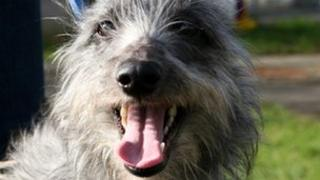 Bluebell the lurcher