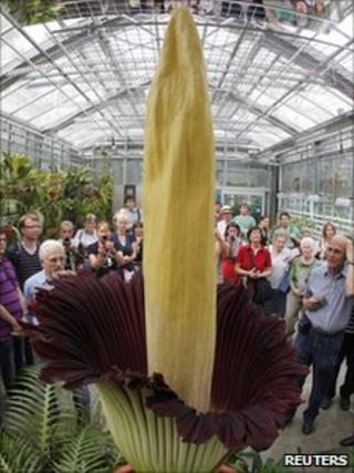 "A Titan Arum blooms at Basel""s Botanical Garden"