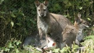 Albino wallaby and mother