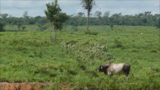 Cow grazing on cleared land in the Amazon state of Para