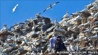 Les Etac gannetry