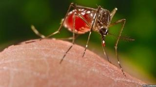 Mosquito drinking blood (Image: VectorBase)