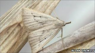 Dotted fan-foot moth [Macrochilo cribrumalis]