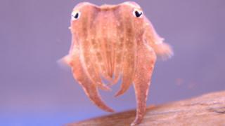 Baby cuttlefish at Blue Reef Aquarium