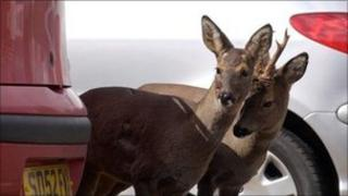 deer hide behind cars
