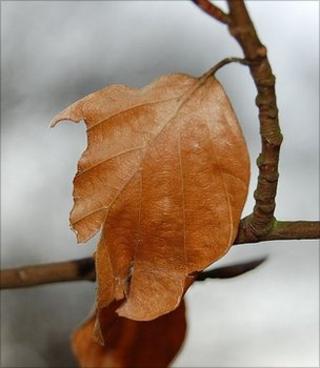 Beech leaf (Image: BBC)