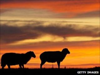 Sheep and a red sky