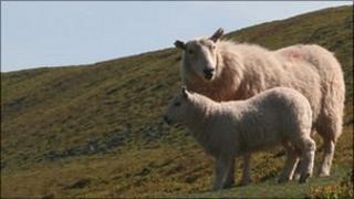 Sheep on Brecon Beacons