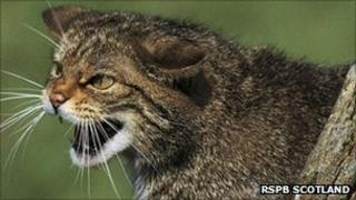Scottish wildcat. Pic: RSPB Scotland