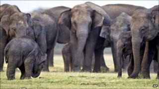 A herd of Asian wild elephants in Sri Lanka