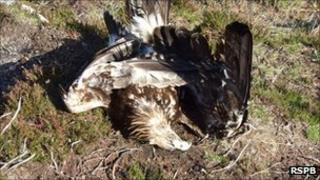 Golden Eagle found poisoned on the Skibo estate