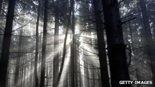 Coniferous forest in Germany's Harz region
