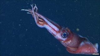 Octopoteuthis deletron (MBARI)