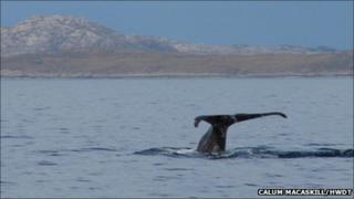 Sperm whale. Pic: Calum MacAskill/HWDT