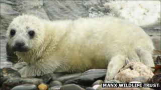 Seal pup courtesy Manx Wildlife Trust