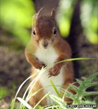 Squirrel (National Trust)