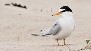 Little tern at Crimdon Dene
