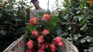 A Colombian grower cuts roses at Elite greenhouse in Facatativa