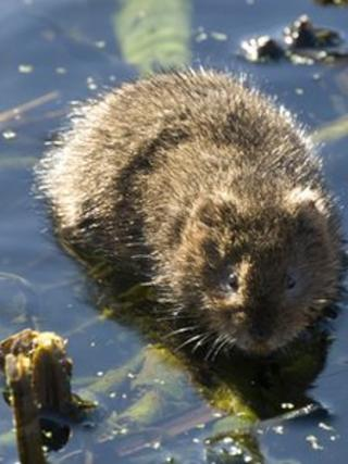 Water vole. Photo: William Richardson