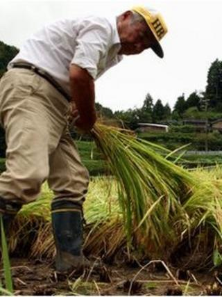 A farmer makes bundles of harvested rice in a paddy field during rice harvesting season Sayo city, Hyogo.