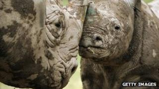 A black rhino calf stands with its mother in its enclosure at Lympne Wild Animal Park, England, 21 June