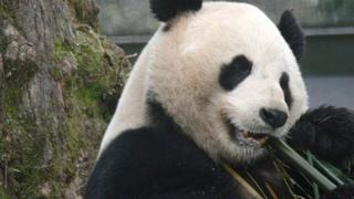 Yang Guang with bamboo Pic: Alison Maclean