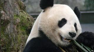 Yang Guang, one of the pandas who'll be chomping all the bamboo at Edinburgh Zoo