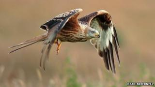 The latest figures show the number of red kites is increasing