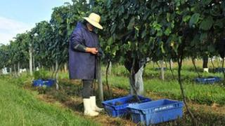 Alt: Wines being harvested in southern Brazil
