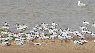 Avocets on Havergate Island